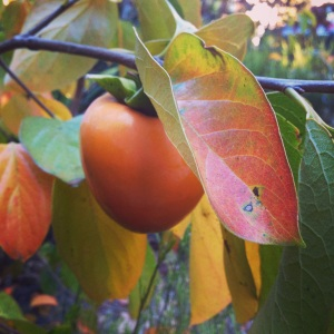 FIRST EVER persimmons on my mom's tree!